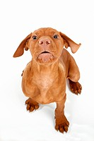 Magyar Vizsla dog _ puppy _ cut out