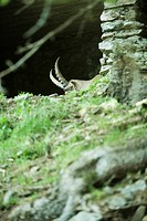 Ibex hiding behind hill