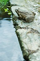 Natterjack toad sitting next to water