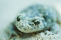 Midwife toad Alytes obstetricans covered in sand