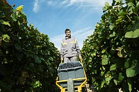 France, Champagne-Ardenne, Aube, wine harvester pushing cart full of grapes in vineyard, smiling at camera