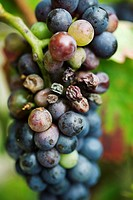 Grapes on vine, close-up