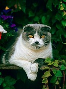 Scottish Fold cat _ lying