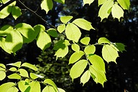 European White, Fluttering or Spreading Elm Ulmus laevis, freshly sprouted leaves