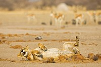 Lioness (Panthera leo) rolling on the ground in front of a herd of Springbok Antelopes (Antidorcas marsupialis), Nxai Pan, Makgadikgadi Pans National ...