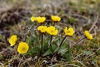 Snow Buttercup (Ranunculus nivalis), Spitsbergen, Norway