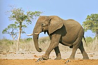 African Bush Elephant (Loxodonta africana), Savuti, Chobe National Park, Botswana, Africa
