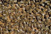 Honey Bees Apis mellifera var  carnica ligustica on honeycomb