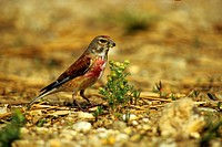Linnet (Carduelis cannabina) searching for food on chamomile blossoms, Illmitz, Lake Neusiedl, Austria, Europe
