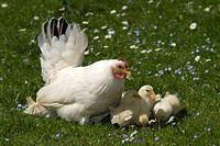 Japanese Bantam or Chabo hen with chicks, Schwaz, Tyrol, Austria, Europe