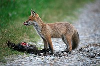 Red Fox (Vulpes vulpes) and the remains of a domestic fowl
