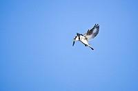 Pied Kingfisher (Ceryle rudis) in flight, Okavango Delta, Botswana, Africa