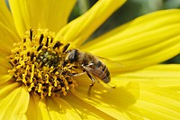 European Hoverfly or Dronefly Eristalis pertinax feeding on pollen from the blossom of a Jerusalem Artichoke or Sunchoke Helianthus tuberosus