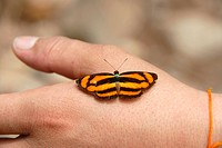 Orange and black striped butterfly sitting on a hand, Phongsali Province, Laos, Southeast Asia