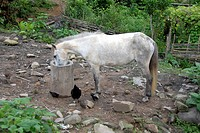 Small white horse feeding from a trough, Ban Tang, Lao Seng ethnicity, Phongsali Province, Laos, Southeast Asia