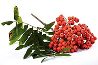 Rowan or European Rowan (Sorbus aucuparia)