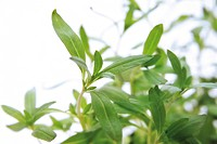 Winter savory (Satureja montana), herb