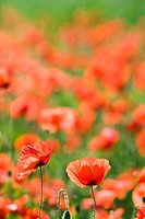 Corn Poppy, Red Poppy (Papaver rhoeas)