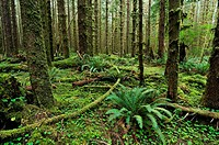 Ferns and lush ground vegetation in the rainforest, Olympic National Park, Washington, USA, North America