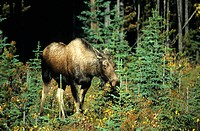 Moose or Elk cow (Alces alces), Jasper National Park, Alberta, Canada, North America