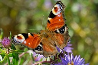 Peacock Butterfly (Inachis Nymphalis io) on an aromatic aster (Aster oblongifolius)