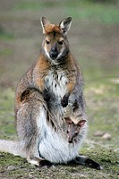 Red-necked Wallaby Macropus rufogriseus, Wallabia rufogrisea with joey in pouch