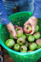 A man placing freshly harvested apples into a basket