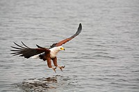 African Fish Eagle (Haliaeetus vocifer) fishing, Chobe River, Chobe National Park, Botswana, Africa
