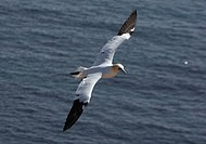 Northern Gannert Morus bassanus, Sula bassana flying, Helgoland, Germany, Europe