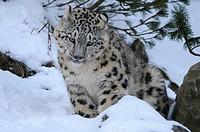 Snow Leopard (Uncia uncia), cub