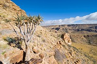 Quiver tree or Kokerboom Aloe dichotoma, Naukluft Mountains, Namibia, Africa