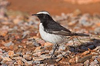 Close_up of Red_rumped Wheatear Oenanthe moesta bird on pebbles