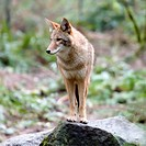 Coyote Canis latrans standing on rock in forest