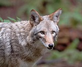Coyote Canis latrans standing in forest