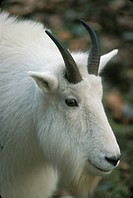 Mountain goat Oreamnos americanus standing on grass
