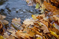 Fallen oak leaves in a stream
