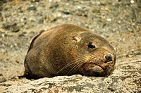 A seal napping on a rock South Island, New Zealand