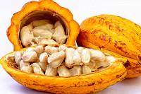 Cacao fruits and seeds, Theobroma cacao, Sterculiaceae, Brazilian Amazon, Acre, Brazil