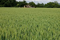 Cornfield in West Sussex
