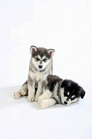 Alaskan Malamutes, puppies, 8 weeks