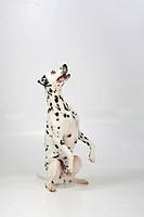 Dalmatian, 4 years