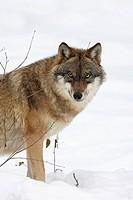 European Wolf, Canis lupus