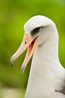 Laysan Albatross Phoebastria immutabilis, Midway Atoll, Northwestern Hawaiian Islands