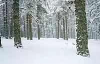 Snow covered pine forest, Sierra de Gudar, Teruel province, Aragon, Spain