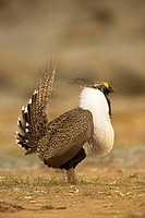 Greater Sage Grouse (Centrocercus urophasianus), male