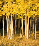 A group of aspens at meadow's edge catch the final rays of sunlight in the La Sal mountains near Moab, Utah