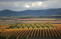 Vines in autumn in Rioja wine region, Spain