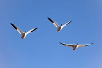 Snow goose, Anser caerulescens, Schneegans,three in flight, blue sky, winter quarters, Bosque del Apache National Wildlife Refuge, New Mexico, USA