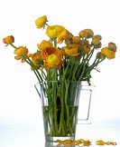 Ranunculus in a glass pitcher