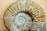 Stony Snail-Shell (thumbnail)